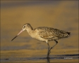 Marbled-Godwit;Godwit;California;Southwest-USA;Limosa-fedoa;one-animal;close-up;