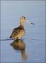 Marbled-Godwit;Godwit;Limosa-fedoa;shorebirds;one-animal;close_up;color-image;no