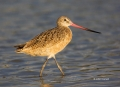Godwit;Limosa-fedoa;Marbled-Godwit;shorebirds;one-animal;close_up;color-image;no
