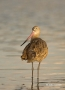 Godwit;Limosa-fedoa;Marbled-Godwit;shorebirds;one-animal;close-up;color-image;no