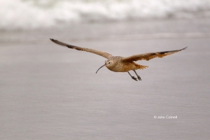 Curlew;Long-billed-Curlew;Numenius-americanus;Shorebird;Wetlands;beach;foraging;