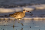 Numenius-phaeopus;Whimbrel