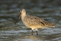 Florida;Southeast-USA;Marbled-Godwit;Shorebird;Limosa-fedoa;shorebirds;one-anima