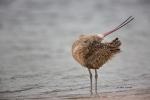 Curlew;Long-billed-Curlew;Numenius-americanus;Preening;Sand;Shorebird;Wading;for