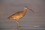 Curlew;Long-billed-Curlew;Numenius-americanus;One;avifauna;bird;birds;color-imag