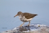 Actitis-macularia;One;Sandpiper;Spotted-Sandpiper;avifauna;bird;birds;color-imag
