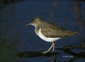 Spotted-Sandpiper;Sandpiper;Actitis-macularia;shorebirds;one-animal;close_up;col