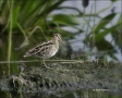 Wilsons-Snipe;shorebirds;one-animal;close-up;color-image;nobody;photography;day;