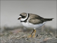 Plover;Semipalmated-Plover;Charadrius-semipalmatus;shorebirds;one-animal;close-u