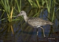 Willet;Breeding-Plumage;Catoptrophorus-semipalmatus;shorebirds;one-animal;close-