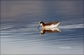 Wilsons-Phalarope;Wilsons-Phalarope;Phalarope;Phalaropus-tricolor;Shorebird;shor