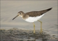 Solitary-Sandpiper;Sandpiper;Tringa-solitaria;shorebirds;one-animal;close-up;col