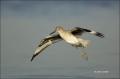 Florida;Willet;Flight;Southeast-USA;Catoptrophorus-semipalmatus;flying-bird;one-