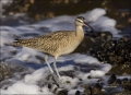 California;Whimbrel;Southwest-USA;Numenius-phaeopus;one-animal;close-up;color-im