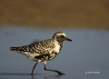 Southeast-USA;Black-bellied-Plover;Plover;Black-bellied-Plover;Pluvialis-squatar
