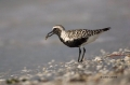 Black-bellied_Plover