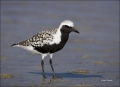 Black-bellied-Plover;Plover;Breeding-Plumage;Florida;Southeast-USA;Pluvaialis-sq