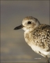 Black-bellied-Plover;Plover;Pluvaialis-squatarola;shorebirds;one-animal;close-up