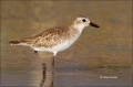 Black-bellied-Plover;Plover;Pluvialis-squatarola;Shorebird;shorebirds;closeup;co