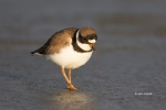 Breeding-Plumage;Charadrius-semipalmatus;Forage;Migration;Mud-Flat;Semipalmated-
