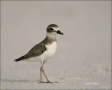 Florida;Wilsons-Plover;Plover;Charadrius-wilsonia;shorebirds;one-animal;close-up