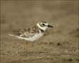 Wilsons-Plover;Plover;Charadrius-wilsonia;shorebirds;one-animal;close-up;color-i