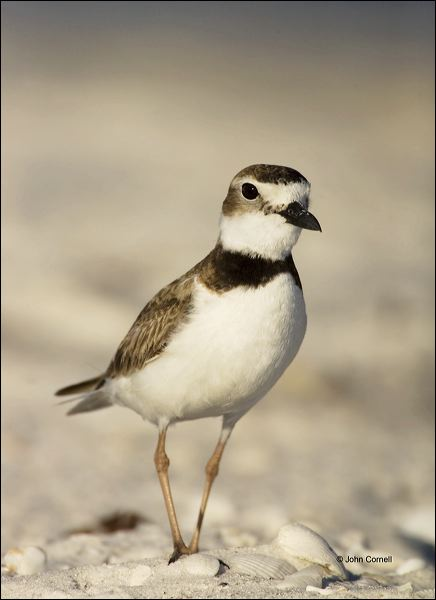 Wilson's Plover;Plover;Florida;Southeast USA;Charadrius wilsonia;shorebirds;one animal;close-up;color image;nobody;photography;day;birds;animals in the wild;beach;mud flat;foraging;water;Wilsons Plover;Shorebird;outdoors;Wildlife;Mud Flat;waders;closeup;close up;wildlife;bird;feeding;shallows;color photograph;Sand