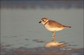 Piping_Plover