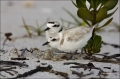 Beach;Chick;Nest;Plover;Snowy-Plover;eggs;hatching;Charadrius-alexandrinus;Male;