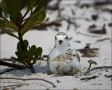 Beach;Chick;Nest;Plover;Snowy-Plover;eggs;hatching;Charadrius-alexandrinus;shore