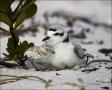Beach;Chick;Nest;Plover;Snowy-Plover;eggs;hatching;Charadrius-alexandrinus;shore
