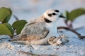 Snowy-Plover;Plover;Charadrius-alexandrinus;Two-animals;close-up;color-image;pho