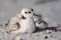Snowy-Plover;Plover;Charadrius-alexandrinus;Chick;Nest;Nesting;parent;chick;bond