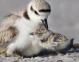 Snowy-Plover;Plover;Charadrius-alexandrinus;parent;chick;bond;bonding;family;inn