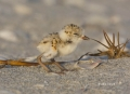 Snowy-Plover;Plover;Charadrius-alexandrinus;Chick;shorebirds;one-animal;close-up