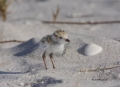 Snowy-Plover;Plover;Charadrius-alexandrinus;one-animal;close-up;color-image;phot