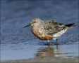 Red-Knot;Calidris-canutus;shorebirds;one-animal;close-up;color-image;nobody;phot