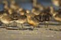 Red-Knot;Knot;Calidris-canutus;Flock;close_up;color-image;photography;day;outdoo