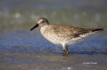 Red-Knot;Knot;Calidris-canutus;shorebirds;one-animal;close_up;color-image;nobody