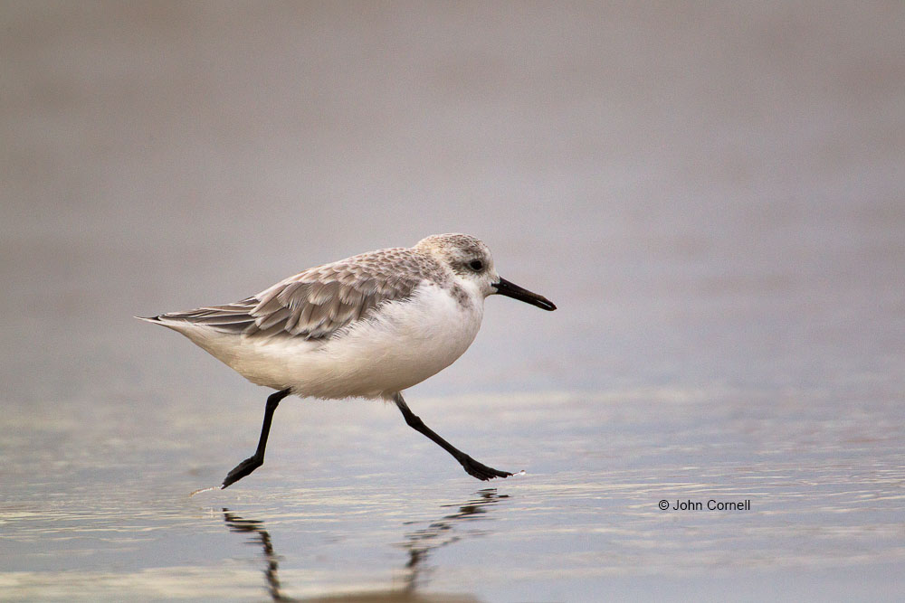 Calidris alba;Forage;One;Sanderling;Shorebird;avifauna;bird;birds;color image;color photograph;feather;feathered;feathers;foraging;natural;nature;outdoor;outdoors;water;wild;wilderness;wildlife