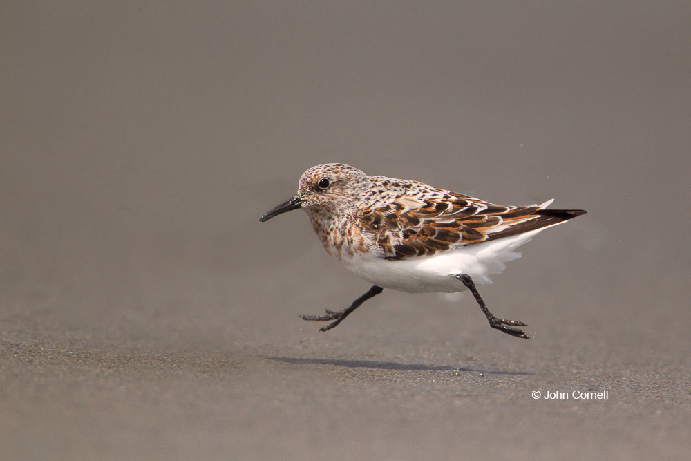 Calidris alba;One;Sanderling;Shorebird;Shoreline;avifauna;beach;bird;birds;color image;color photograph;feather;feathered;feathers;feeding;foraging;natural;nature;outdoor;outdoors;water;wild;wilderness;wildlife