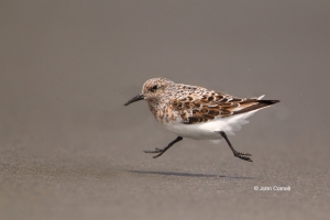 Calidris-alba;One;Sanderling;Shorebird;Shoreline;avifauna;beach;bird;birds;color