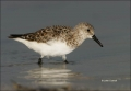 Florida;Sanderling;Calidris-alba;shorebirds;one-animal;close-up;color-image;nobo