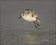 Sanderling;Flight;Florida;Southeast-USA;Calidris-alba;shorebirds;one-animal;clos