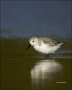 Sanderling;Calidris-alba;shorebirds;one-animal;close_up;color-image;nobody;photo