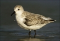 Sanderling;Calidris-alba;shorebirds;one-animal;close-up;color-image;nobody;photo