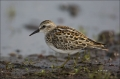 Least-Sandpiper;Sandpiper;Shorebird;Calidris-minutilla;shorebirds;Newfoundland;o