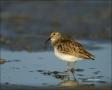 Least-Sandpiper;Sandpiper;Calidris-minutilla;shorebirds;one-animal;close-up;colo