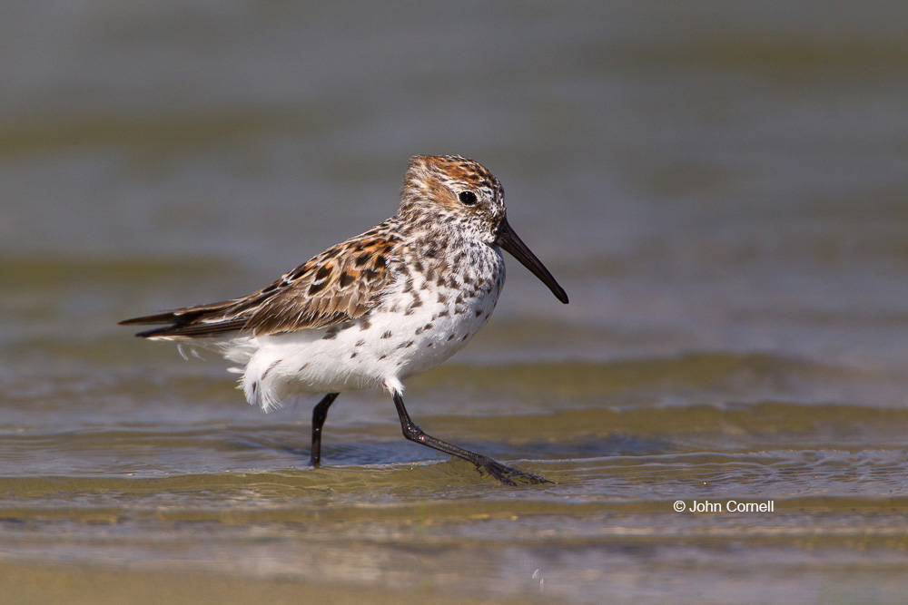 Calidris mauri;One;Sandpiper;Shorebird;Shoreline;Western Sandpiper;avifauna;bird;birds;color image;color photograph;feather;feathered;feathers;foraging;natural;nature;outdoor;outdoors;wild;wilderness;wildlife