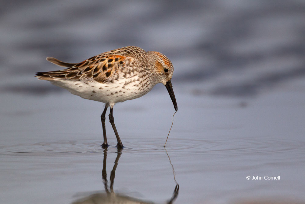 Calidris mauri;Forage;One;Sandpiper;Shorebird;Western Sandpiper;avifauna;bird;birds;color image;color photograph;feather;feathered;feathers;foraging;natural;nature;outdoor;outdoors;water;wild;wilderness;wildlife
